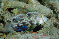 Twinspot Goby