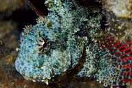 Jewelled Blenny