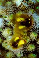 Coral Hermit Crabs