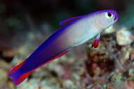 Elegant Dartfish