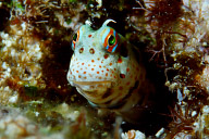 Freckle Face Blenny