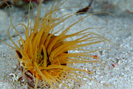 Fluorescent Tube Anemone