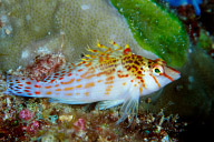 Dwarf Hawkfish