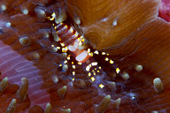 Pliopontonia furvita Shrimp