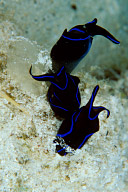Lyretail Sea Slugs Laying Eggs