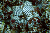 Beaded Anemone Mouth