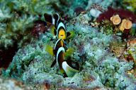Battling Clark's Anemonefish
