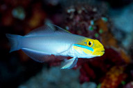 Blue Barred Goby