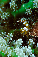 Thor amboinensis Shrimp
