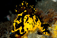 Notodoris gardineri Nudibranch