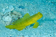 Banded Shrimpgoby