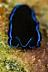 Sapphire Flatworm