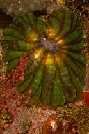 Corallimorph