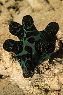 Chelyonotus semperi Nudibranch