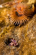 Coral Hermit Crab with Christmas Tree Worm