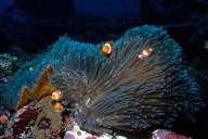 Clownfish on Orange-sided Anemone