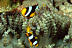 Clark's Anemonefish in Beaded Anemone