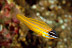 Yellow-striped Cardinalfish