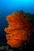 Sea Fan