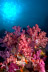 Soft Corals