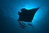 Manta Ray with Cobia
