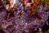 Purple Rhinopias