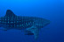 Whaleshark