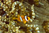 Juvenile Clark&#039;s Anemonefish
