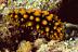 Phyllidia oscellata Nudibranch