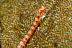 Red Scribbled Pipefish