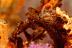 Orangutan Crab