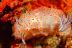 Halgerda stricklandii Nudibranchs