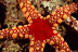 Fromia Sea Star