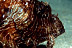 Old Man Lionfish