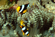 Clark&#039;s Anemonefish in Beaded Anemone