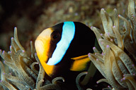 Clark&#039;s Anemonefish