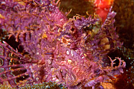 Purple Rhinopias