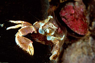 Feeding Porcelain Crab with Eggs