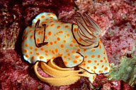 Chromodoris annulata Nudibranch with Eggs