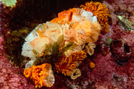 Phestilla melanobrachia Nudibranchs laying eggs on Tubastrea Coral