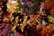 Bornella anguilla Nudibranch