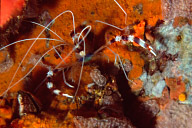 Banded Coral Shrimp