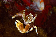 Feeding Porcelain Crab