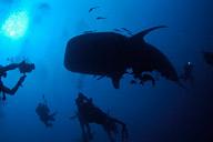 Whaleshark Madness