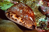 Unknown Cowrie