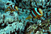 Clarks Anemonefish in Beaded Anemone