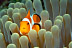 Oscellaris Clownfish with Shrimp