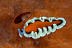 Unidentified Pseudobiceros Flatworm