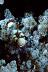 Periclimenes brevicarpalis Shrimp