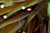 Periclimenes kororensis Shrimp